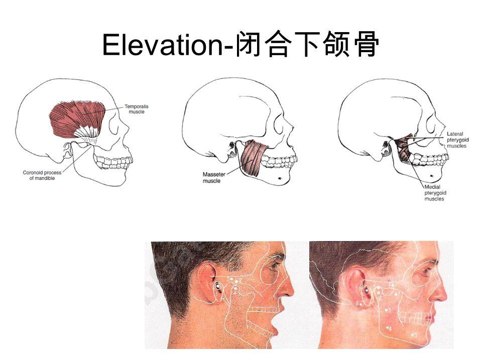 Elevation-闭合下颌骨