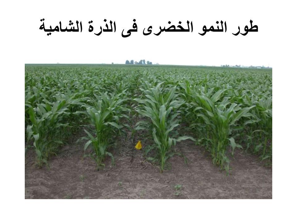 طور النمو الخضرى فى الذرة الشامية