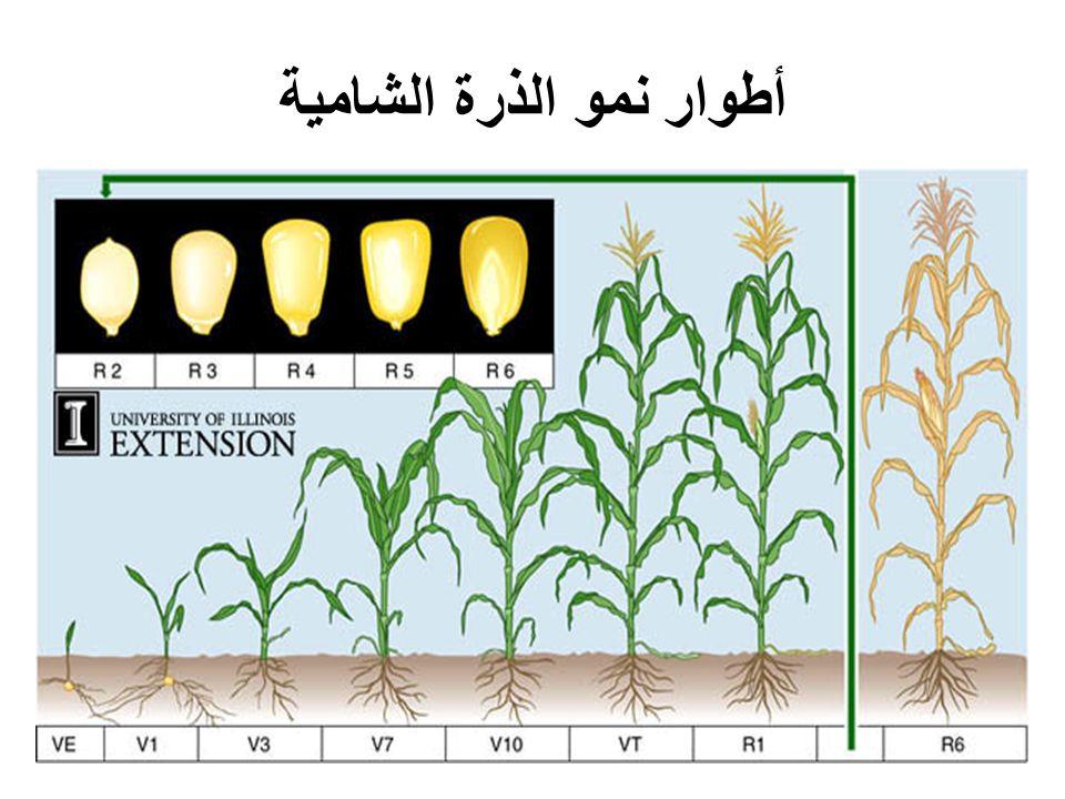 أطوار نمو الذرة الشامية