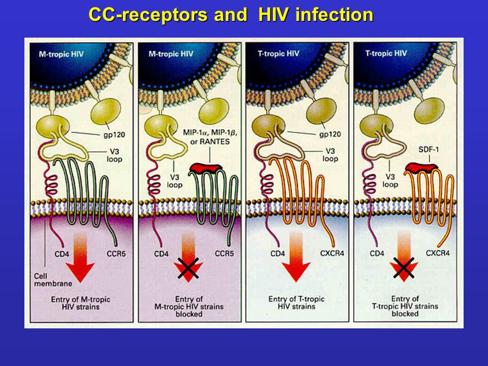 CC-receptors and HIV infection