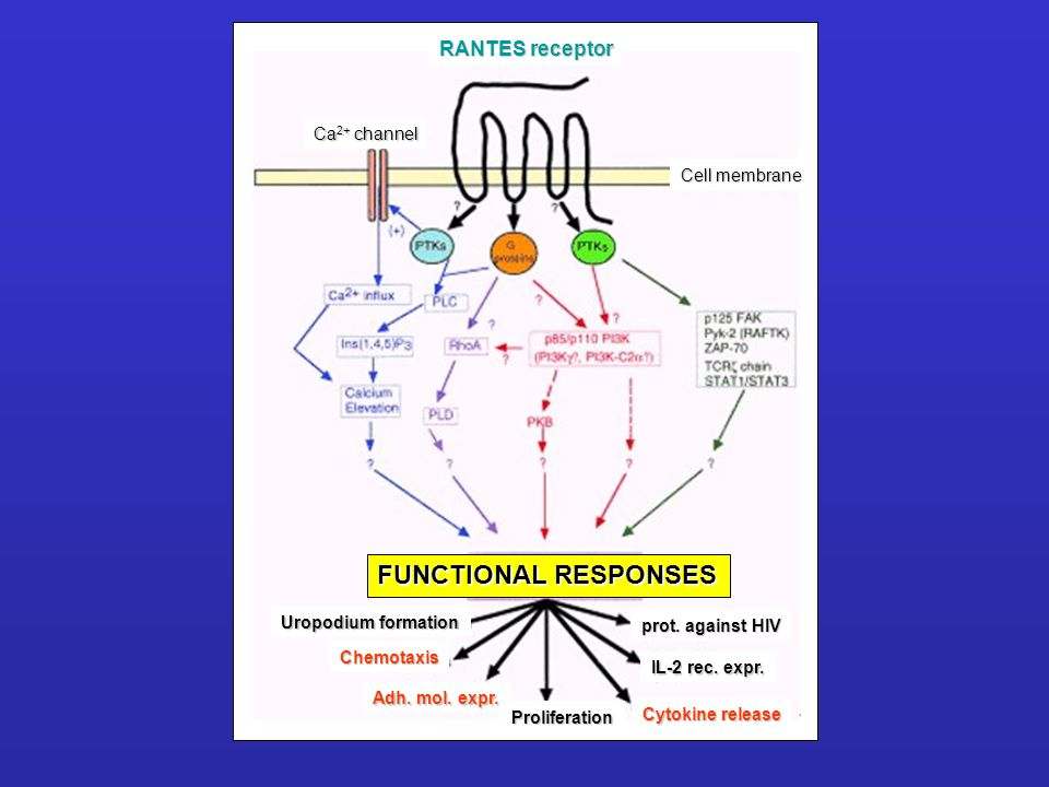 FUNCTIONAL RESPONSES RANTES receptor Ca2+ channel Cell membrane