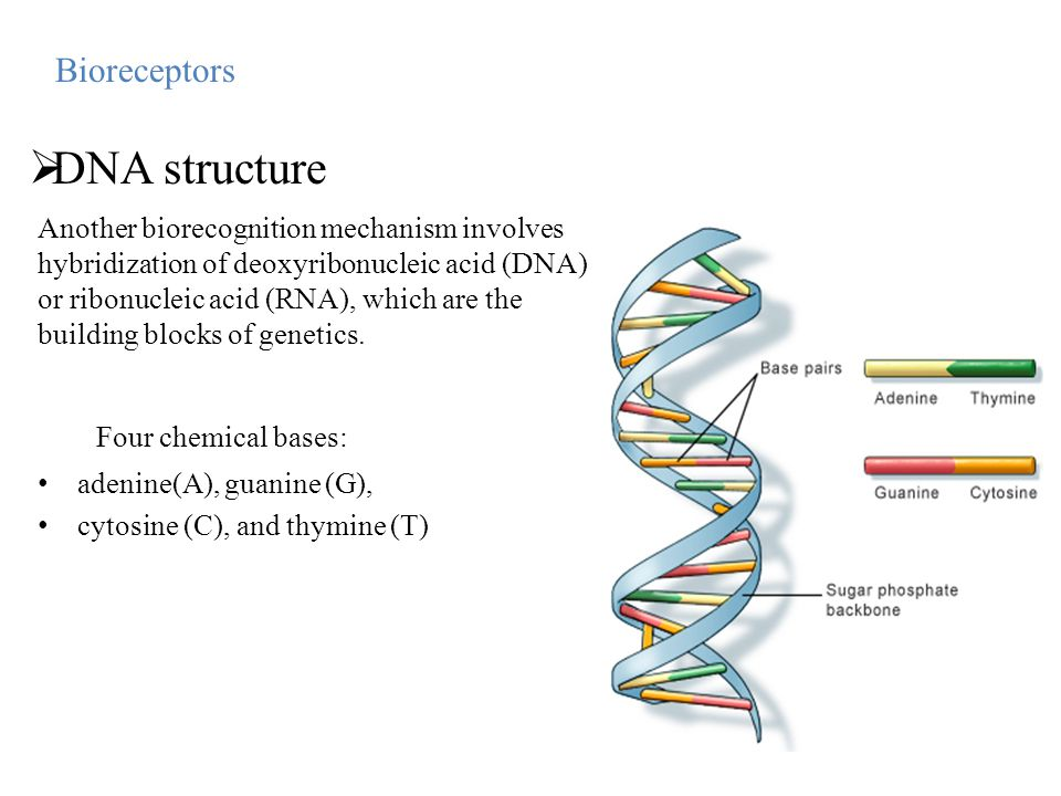 DNA structure Four chemical bases: Bioreceptors