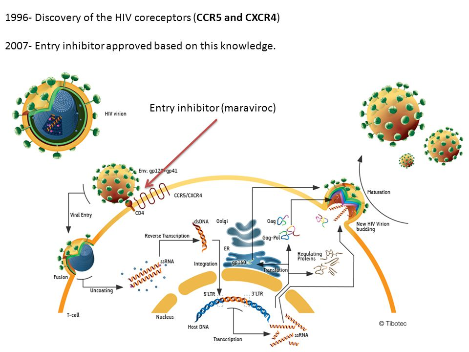 1996- Discovery of the HIV coreceptors (CCR5 and CXCR4)