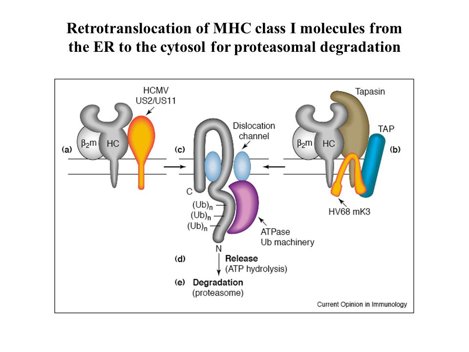 Retrotranslocation of MHC class I molecules from the ER to the cytosol for proteasomal degradation