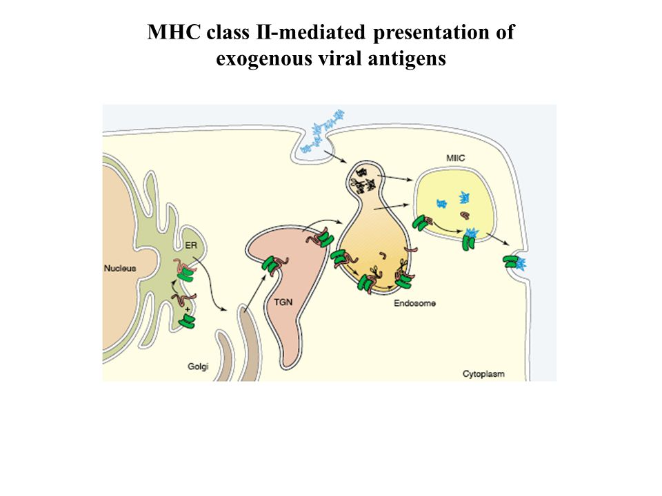 MHC class II-mediated presentation of exogenous viral antigens