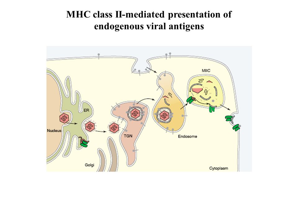 MHC class II-mediated presentation of endogenous viral antigens
