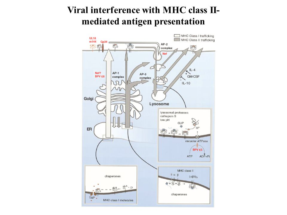 Viral interference with MHC class II-mediated antigen presentation