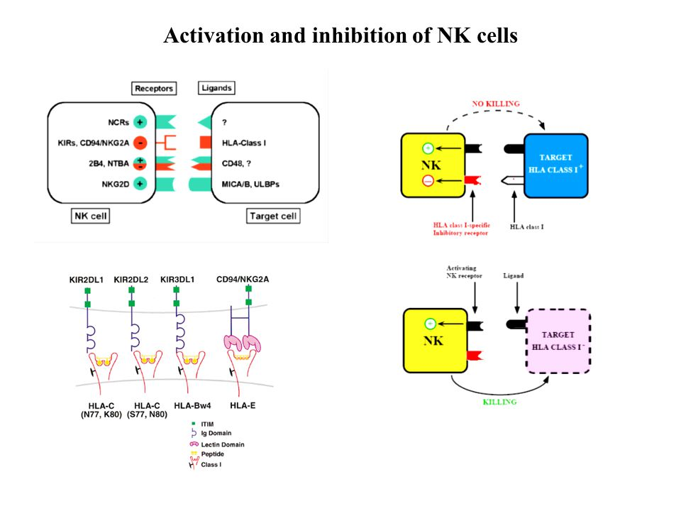 Activation and inhibition of NK cells