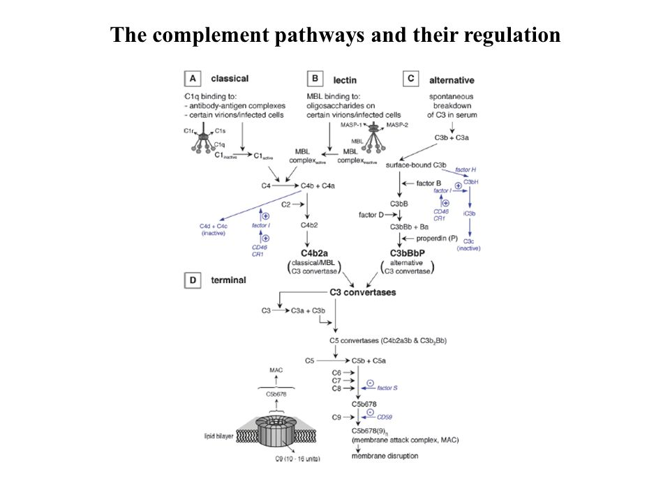 The complement pathways and their regulation