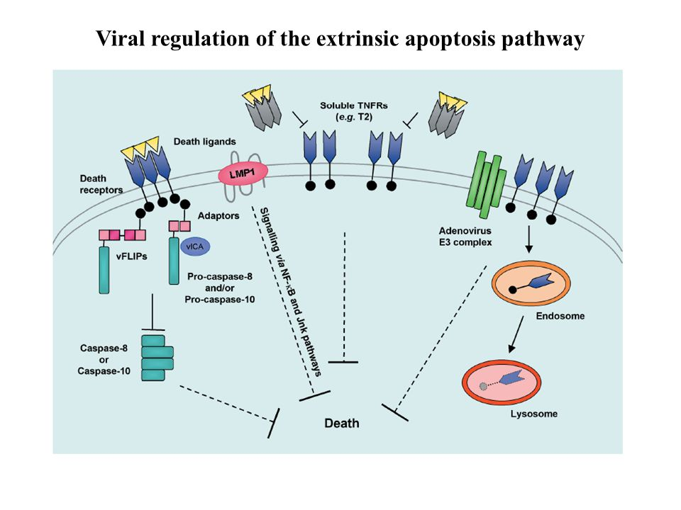 Viral regulation of the extrinsic apoptosis pathway