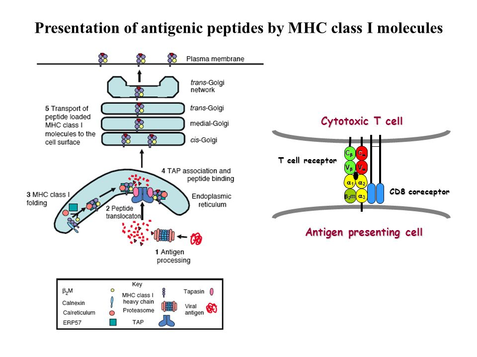 Presentation of antigenic peptides by MHC class I molecules