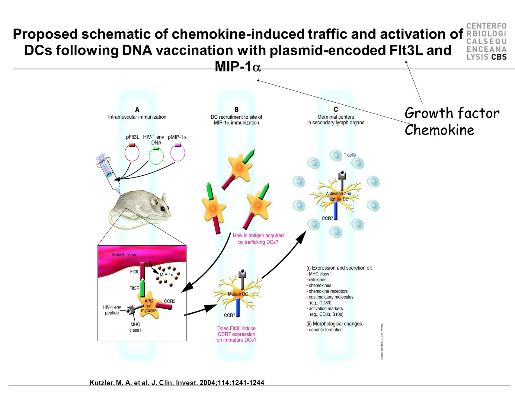 Proposed schematic of chemokine-induced traffic and activation of DCs following DNA vaccination with plasmid-encoded Flt3L and MIP-1a