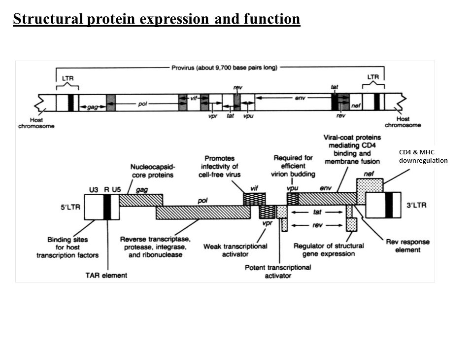 Structural protein expression and function