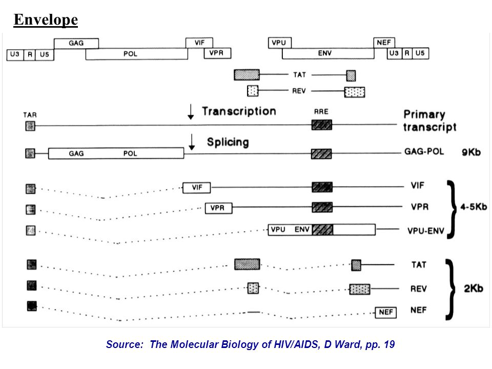 Source: The Molecular Biology of HIV/AIDS, D Ward, pp. 19