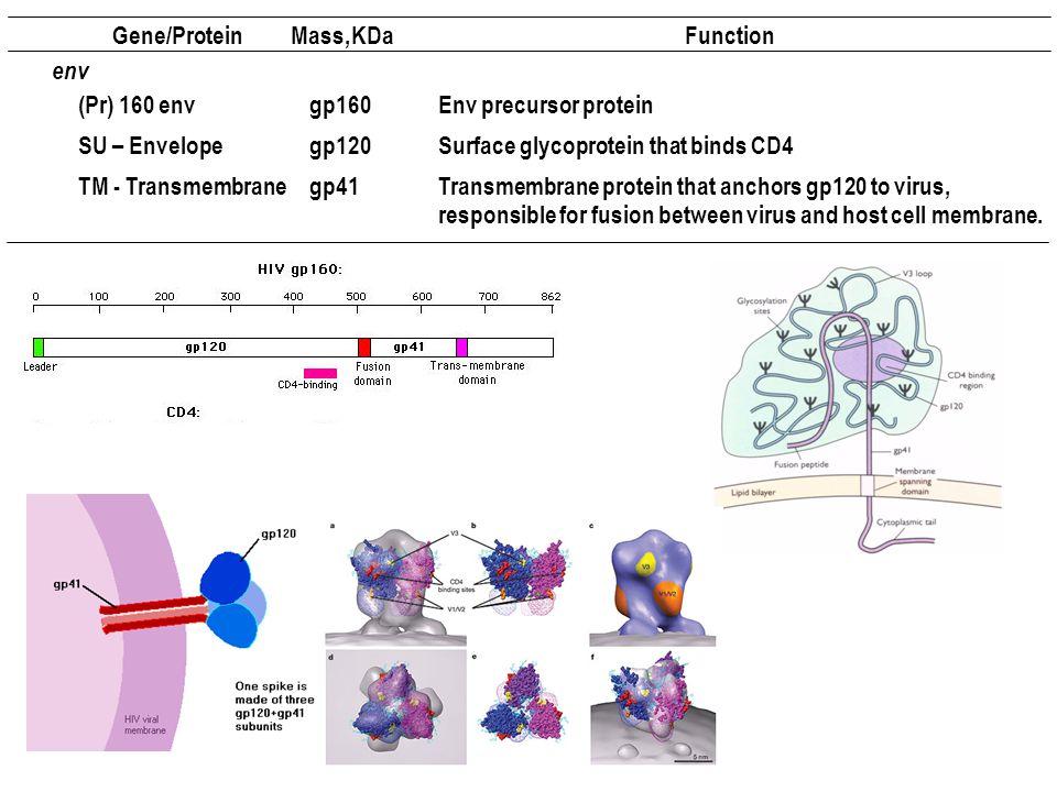 Gene/Protein Mass, KDa. Function. env. (Pr) 160 env. gp160. Env precursor protein. SU – Envelope.