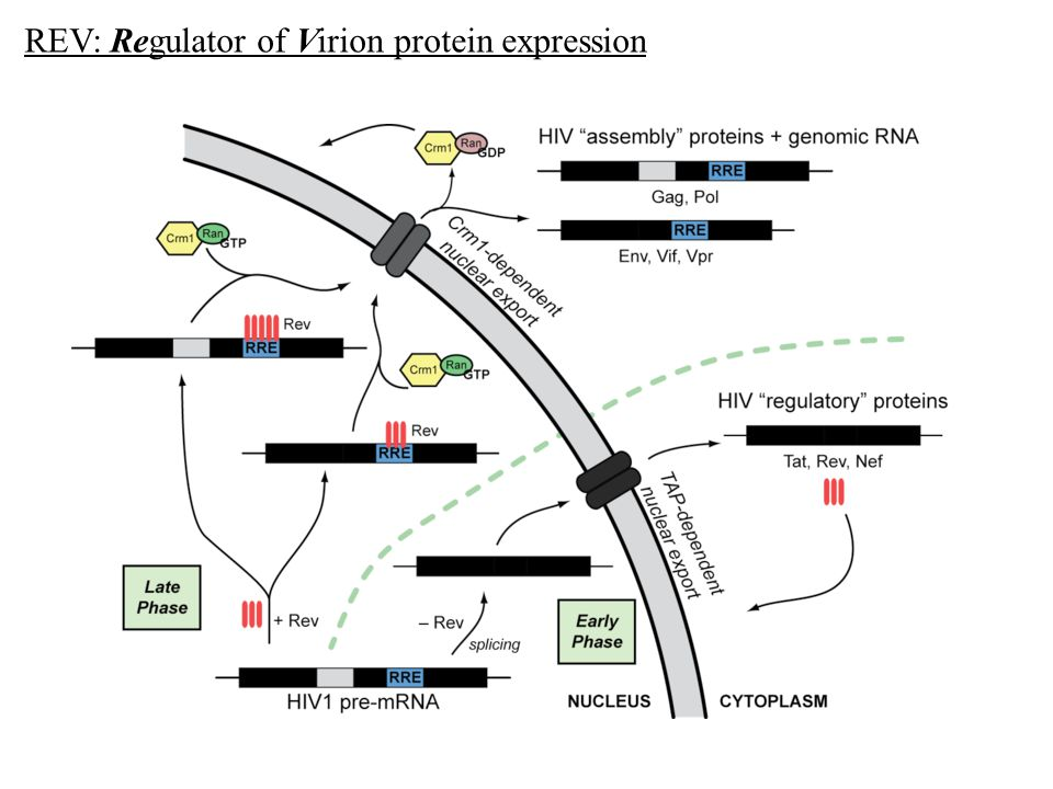 REV: Regulator of Virion protein expression