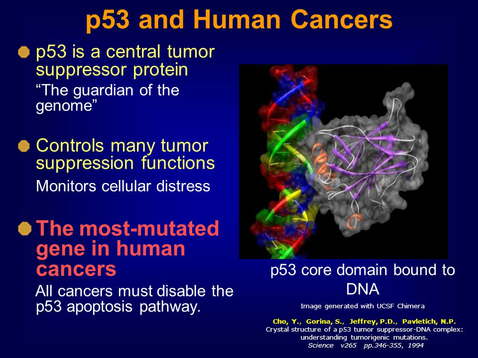 p53 and Human Cancers 12 The most-mutated gene in human cancers