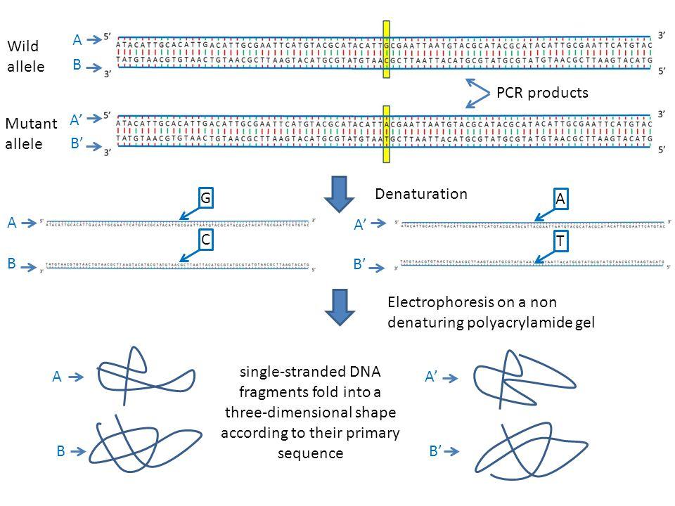 Electrophoresis on a non denaturing polyacrylamide gel