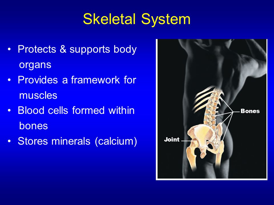 Skeletal System Protects & supports body organs
