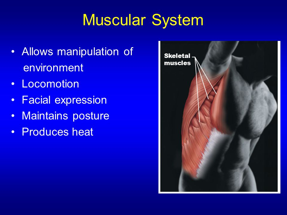 Muscular System Allows manipulation of environment Locomotion