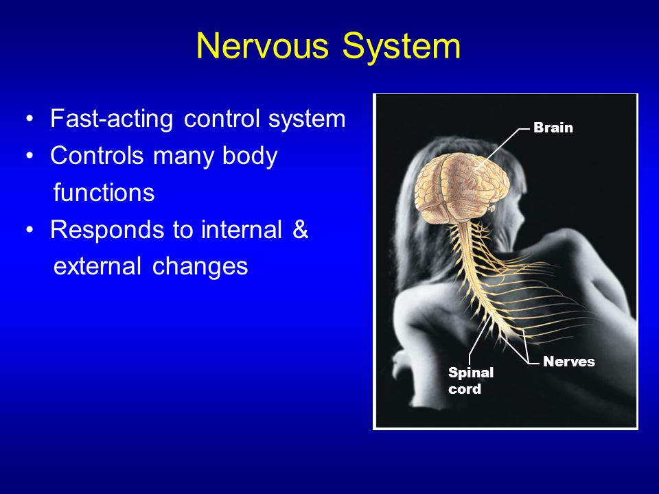 Nervous System Fast-acting control system Controls many body functions