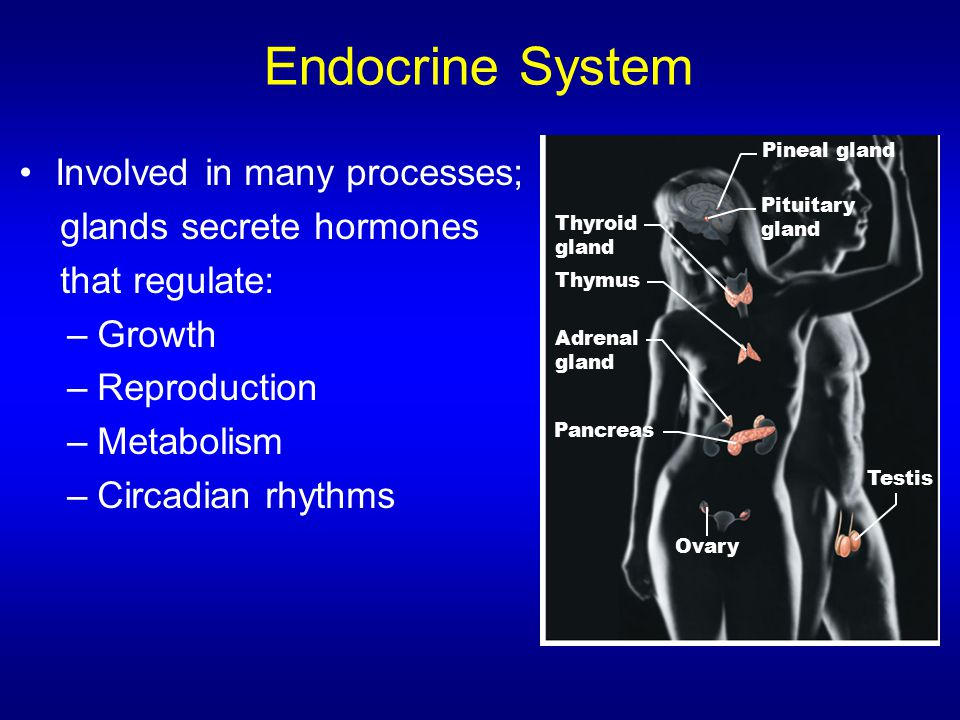 Endocrine System Involved in many processes; glands secrete hormones