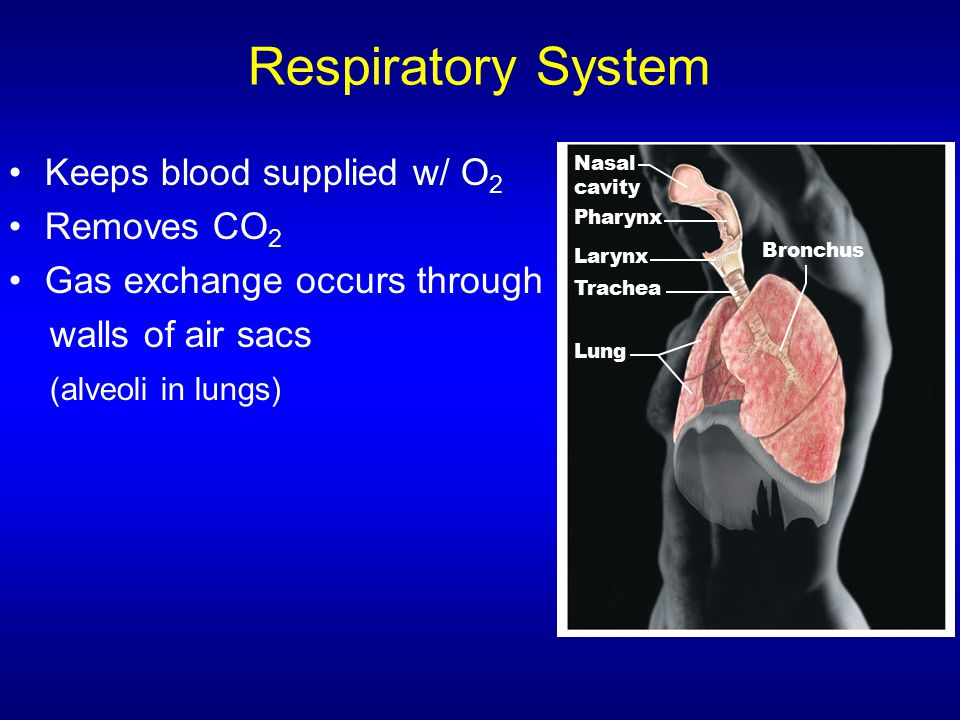 Respiratory System Keeps blood supplied w/ O2 Removes CO2