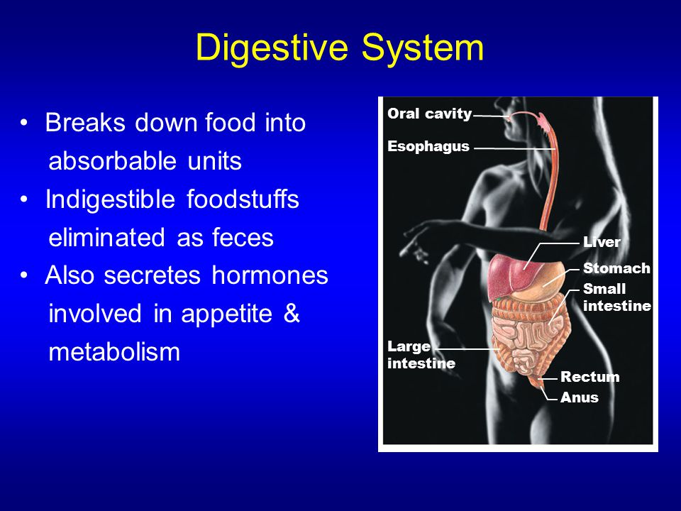 Digestive System Breaks down food into absorbable units