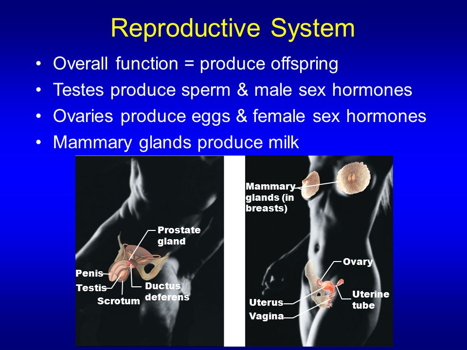 Reproductive System Overall function = produce offspring