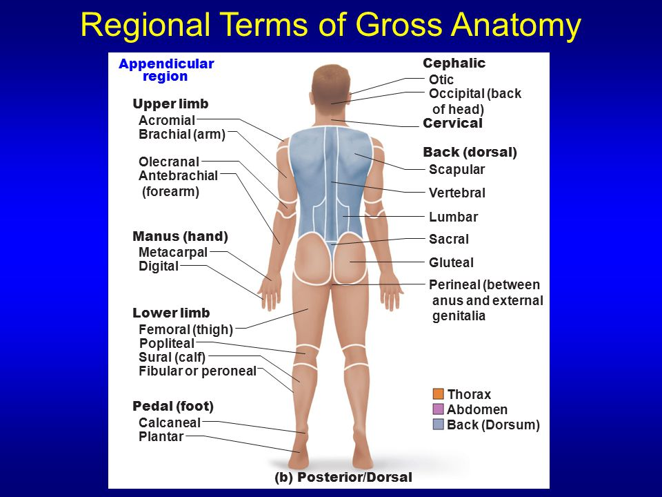 Regional Terms of Gross Anatomy