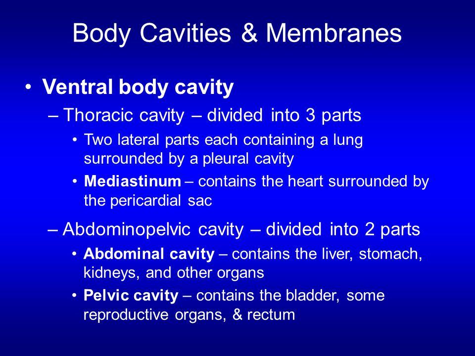 Body Cavities & Membranes