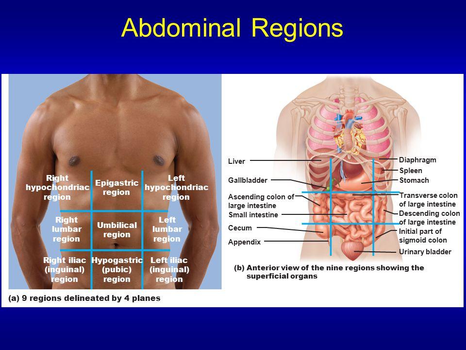 Abdominal Regions Epigastric region Umbilical Right lumbar Left