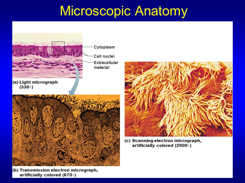 Microscopic Anatomy Cytoplasm Cell nuclei Extracellular material