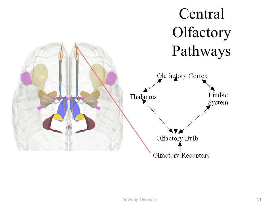 Central Olfactory Pathways