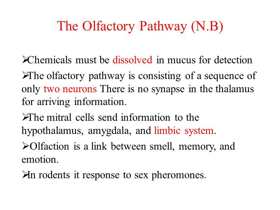The Olfactory Pathway (N.B)