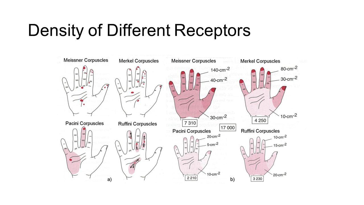 Density of Different Receptors