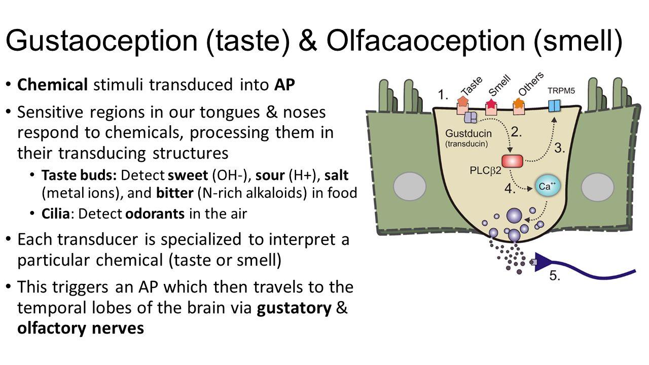 Gustaoception (taste) & Olfacaoception (smell)