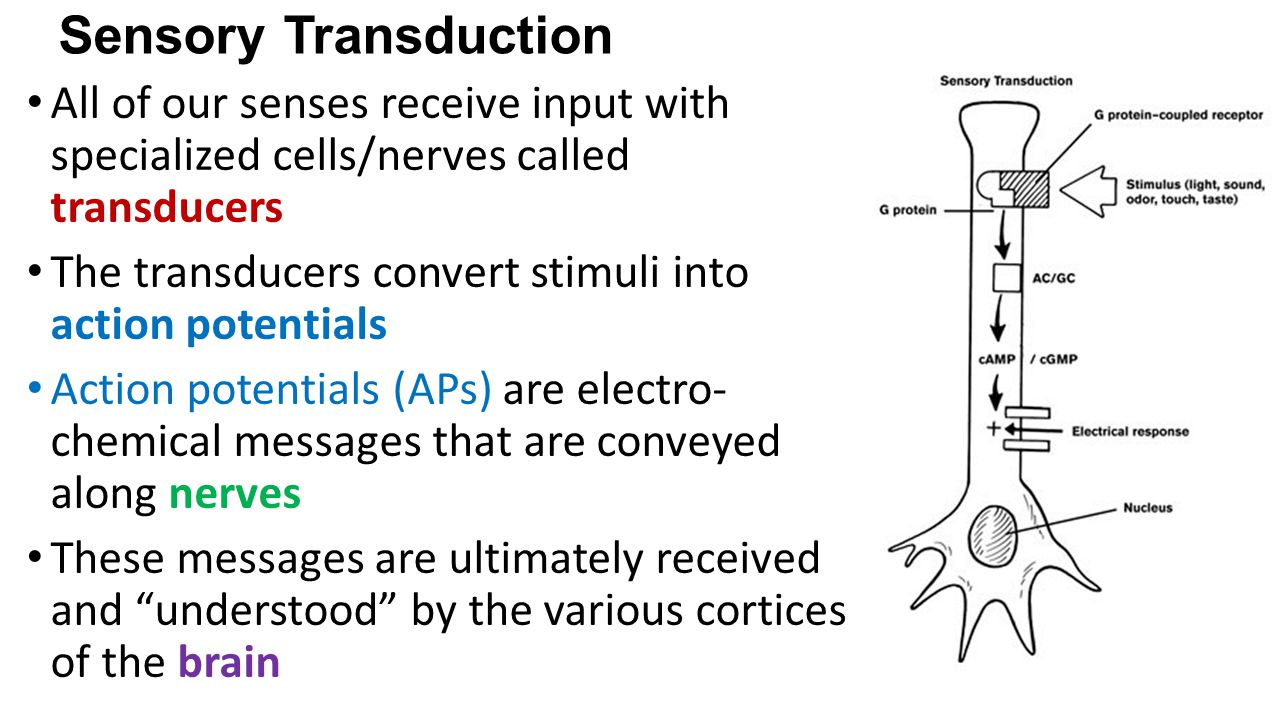 Sensory Transduction All of our senses receive input with specialized cells/nerves called transducers.