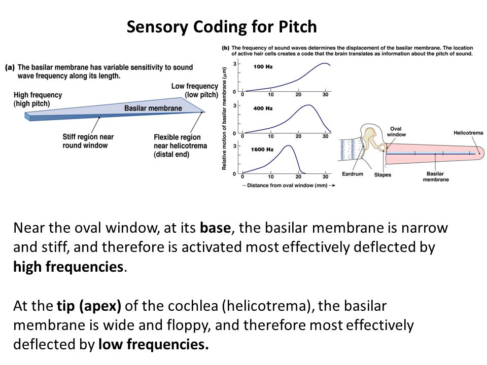 Sensory Coding for Pitch