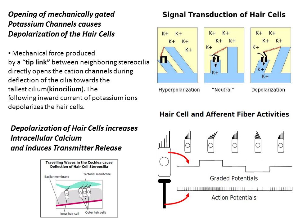 Depolarization of Hair Cells increases Intracellular Calcium