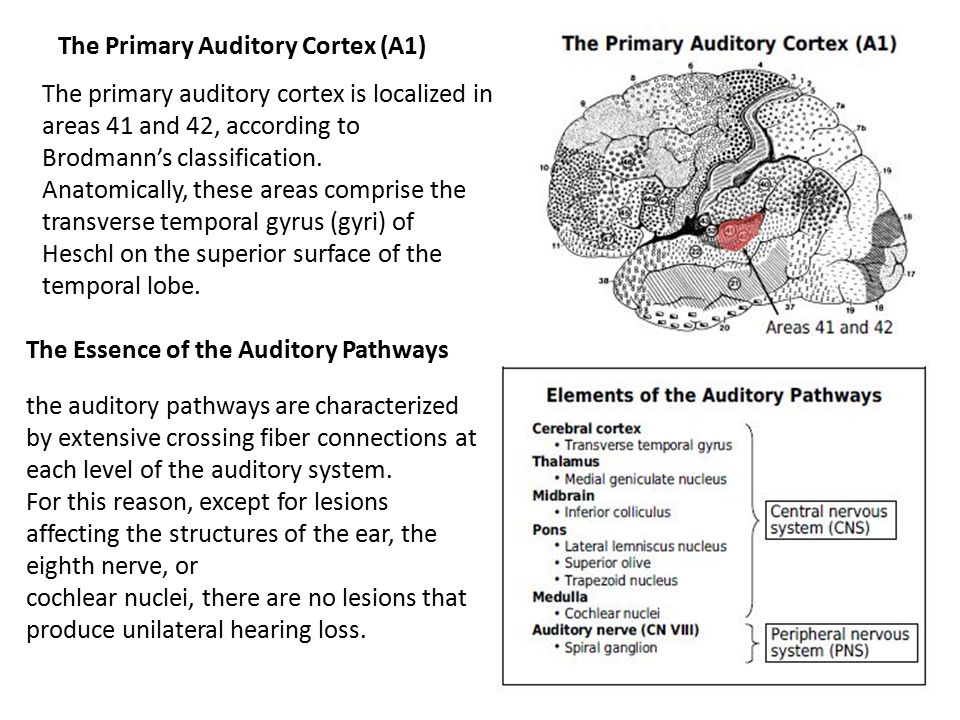 The Primary Auditory Cortex (A1)