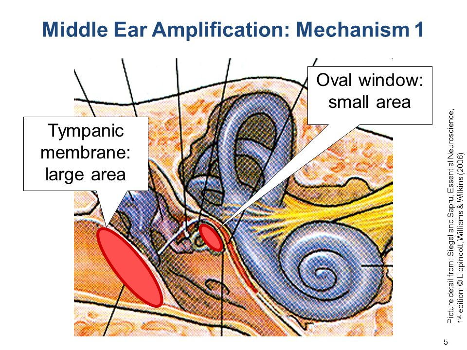 Middle Ear Amplification: Mechanism 1