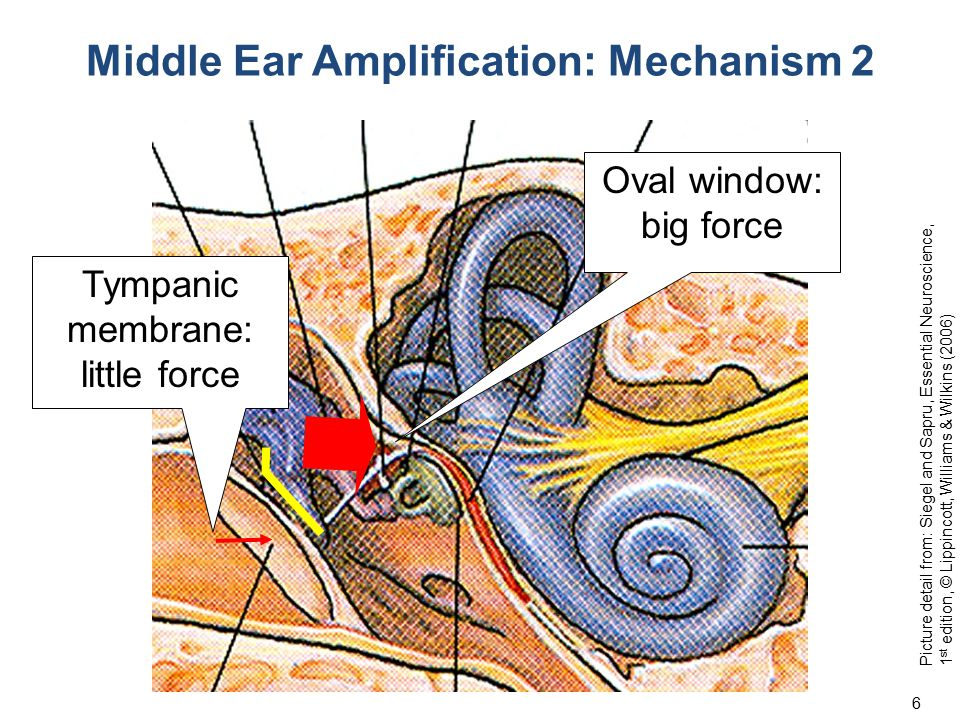 Middle Ear Amplification: Mechanism 2