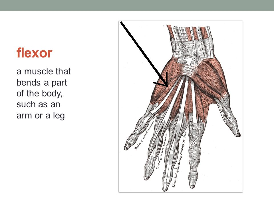 flexor a muscle that bends a part of the body, such as an arm or a leg