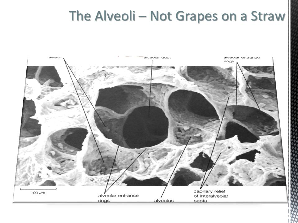 The Alveoli – Not Grapes on a Straw