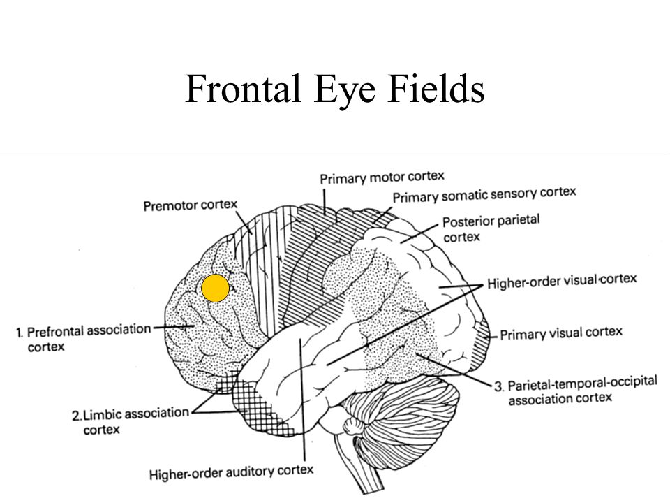 Frontal Eye Fields