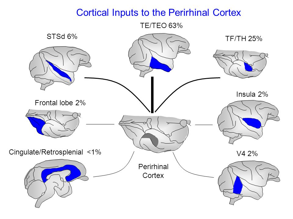 Cortical Inputs to the Perirhinal Cortex