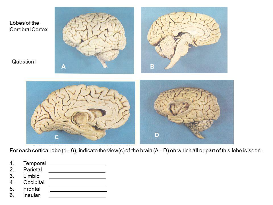 A B D C Lobes of the Cerebral Cortex Question I