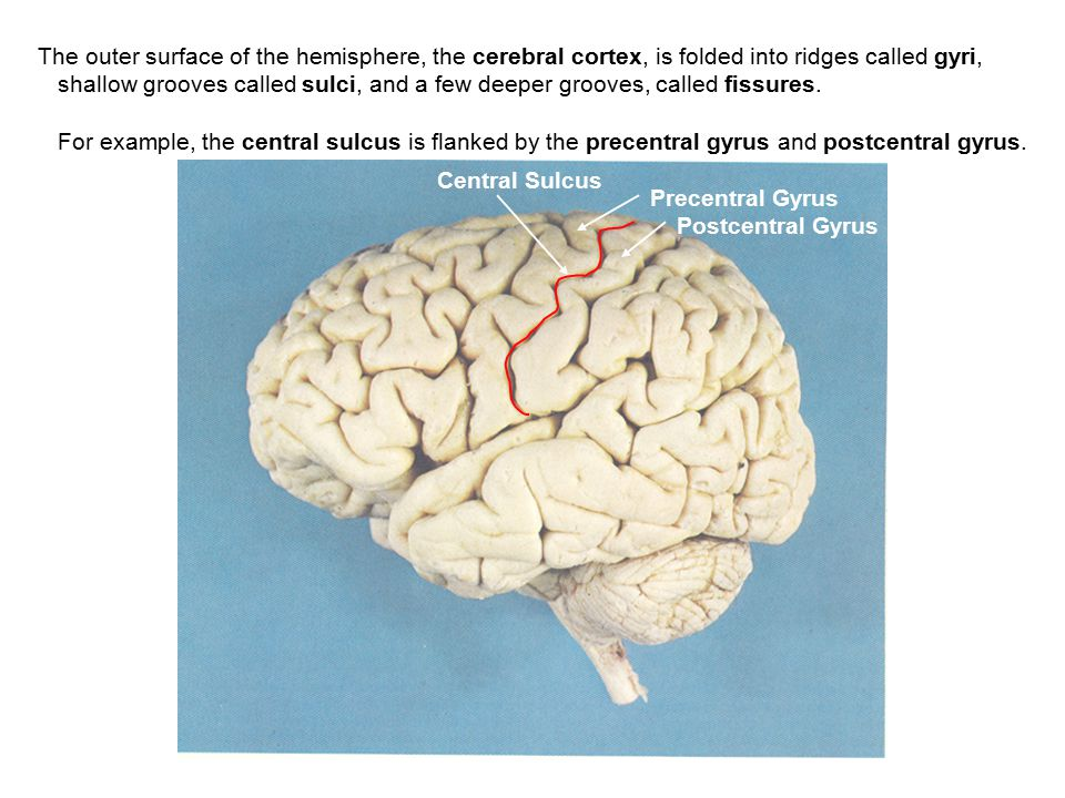 The outer surface of the hemisphere, the cerebral cortex, is folded into ridges called gyri,