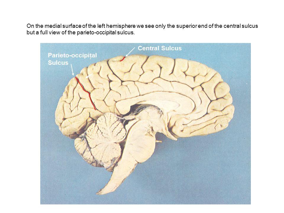Central Sulcus Parieto-occipital Sulcus